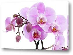 Постер Phalaenopsis Orchid