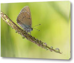 Постер Бабочка на колосе растения с каплями росы