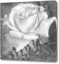 Постер Белая роза